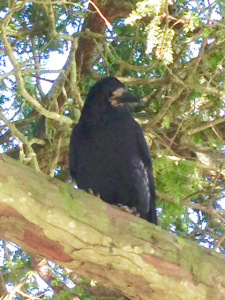 Crawford the Crow - photo Taken by Jane Goldsack