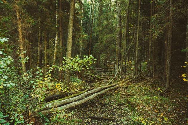Fallen Trees In Green Coniferous Forest